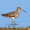 Juvenile Long-billed Dowitcher