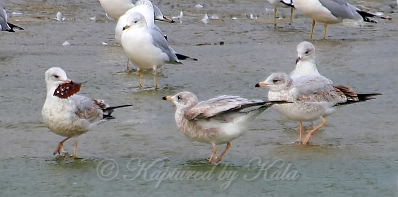 A Game Of Keep Away, Gull Style