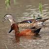Male Cinnamon Teal & Female Wood Duck View 1