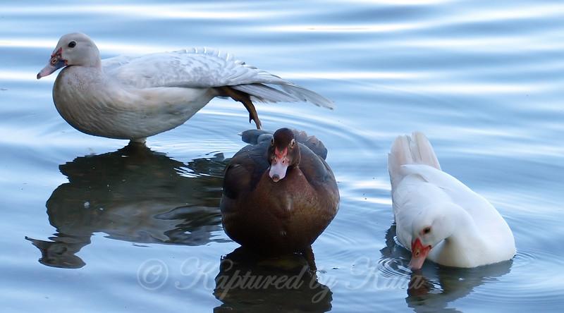 Three Juvenile Muscovies Not Posing