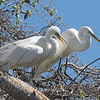 Great Egret Mating Behavior Part 7 of 7