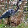 Great Blue Heron in its Natural Environment
