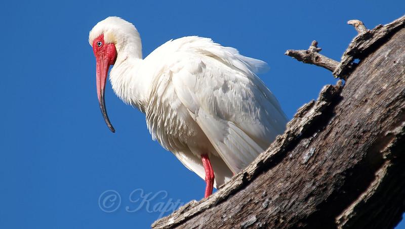 White Ibis Breeding Colors