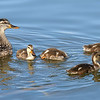 Mama Mallard With Five Youngsters