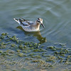 Juvenile Red Phalarope View 2