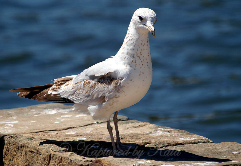 First Year Ring Billed Gull