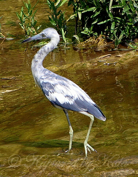 First Spring Little Blue Heron