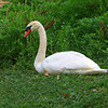 Swan at Rest