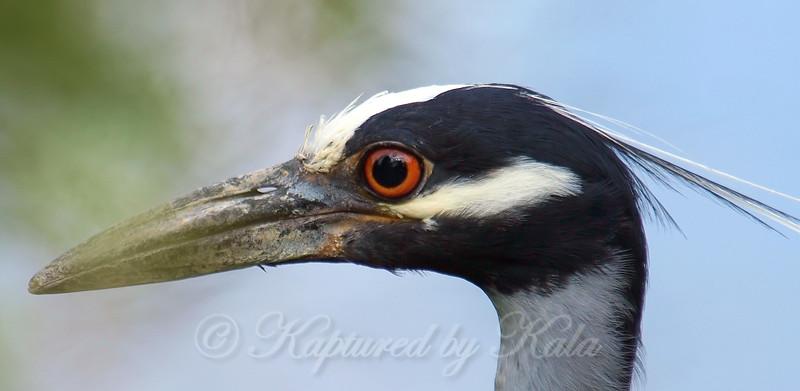 Night Heron Face Shot