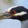 Night Heron Face Shot