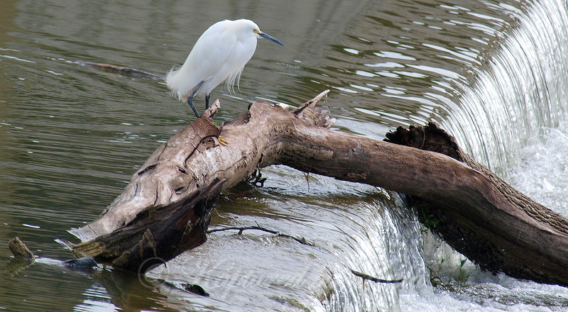 Snowy Egret Surveys Flood Waters