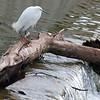 Snowy Egret Surveys Flood Waters