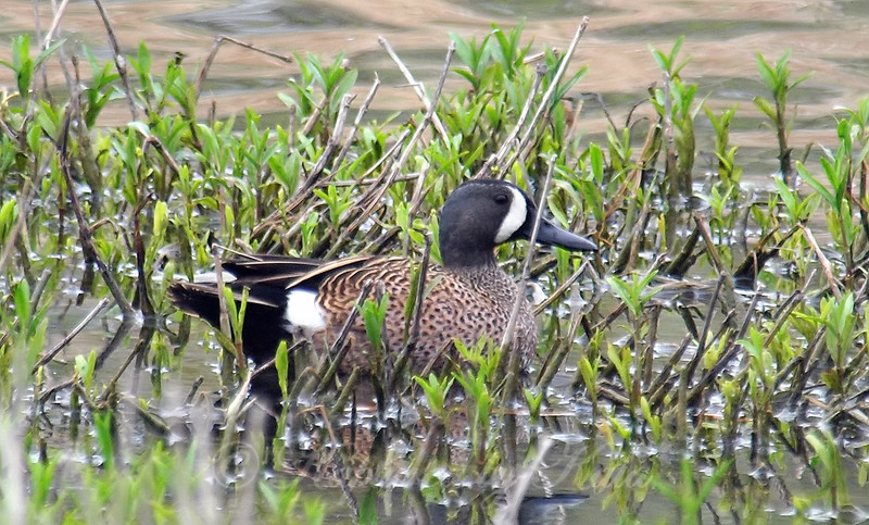 Blue-winged Teal Hiding In The Rushes