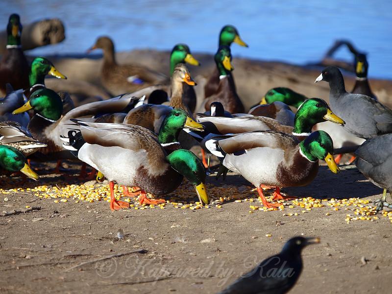 The Green-headed Society Enjoys a Buffet