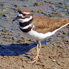 Killdeer on the Mudflat