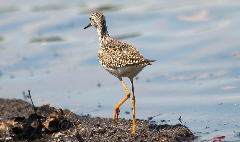Lesser Yellowlegs Fanny Shot
