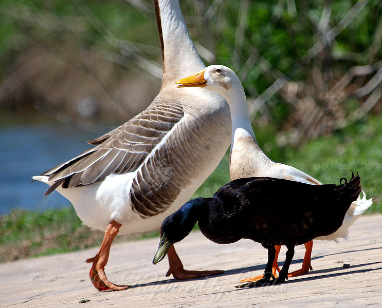 African Brown Geese Are So Much Larger Than the Ducks