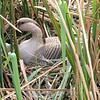 Domestic  Goose On Nest