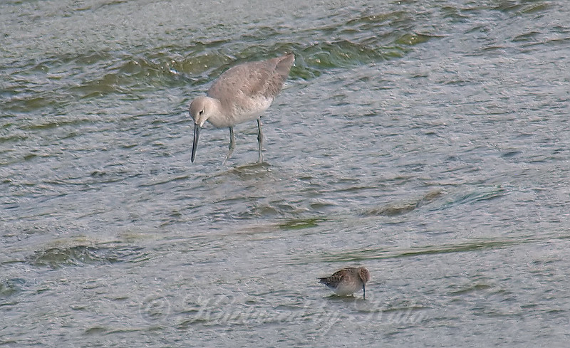 A Willet & A Least