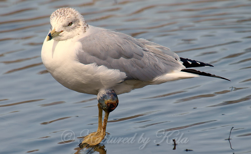 Strange Looking Gull