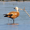 Ruddy Shelduck View 8