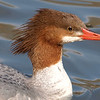 Merganser Face Shot