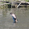 Pied-billed Grebe Flapping Its Wings