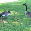 The Other Canada Goose Family