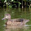 Pretty Little Female Blue-winged Teal