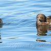 Mr. & Mrs. Gadwall