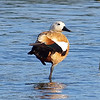 Ruddy Shelduck View 4