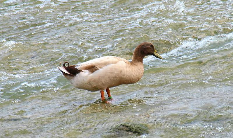 Large Unusual Duck