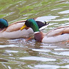 Mallard Mating Behaviors Part 3