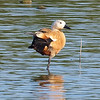 Ruddy Shelduck View 1