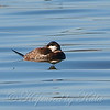 Typical Sleeping Ruddy Duck