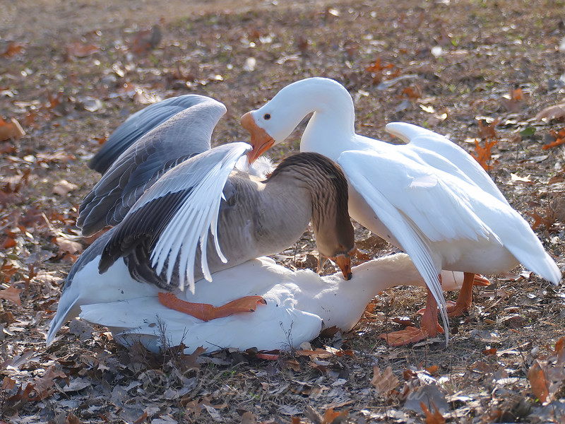 Goose Mating Season 1
