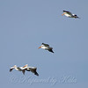 Pelicans In Flight View 1