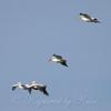 Pelicans In Flight View 1