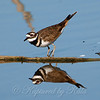 Killdeer Courtship Display Part 1 Of 2