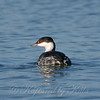 Horned Grebe Going Away From Me