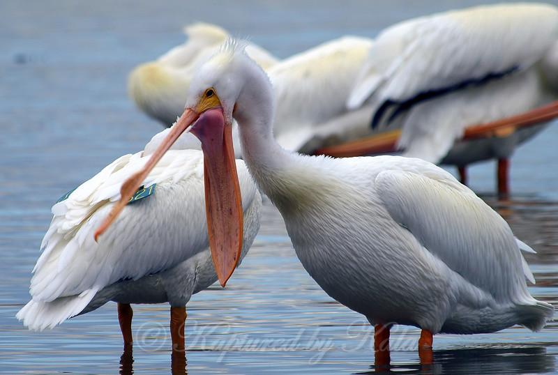 Banded Pelican