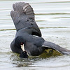 Mating Coots 2 of 8