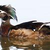Odd Wood Duck