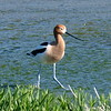 Male American Avocet