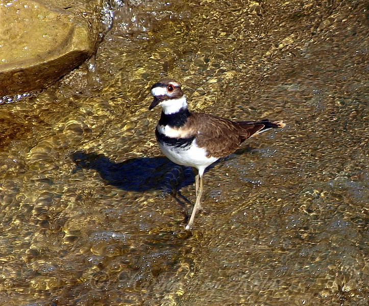 Killdeer On Golden Water View 2 of 2
