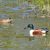 Male & Female Northern Shovelers
