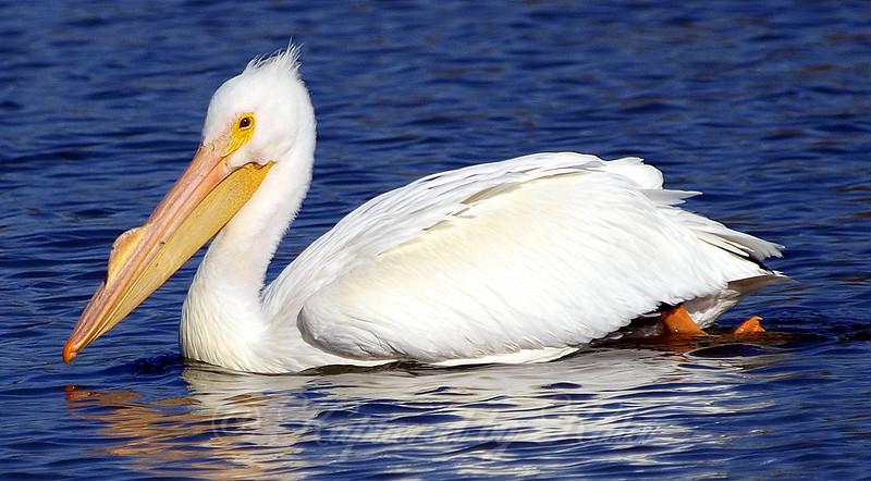 Farewell Pelicans