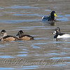 Three Ring-necked Ducks And A Mallard