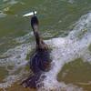 Neotropic Cormorant's Excellent Catch