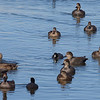 Gadwall Gathering